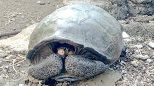 Imatge de l'exemplar de tortuga trobat a les Galápagos