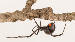 Imatge d'un exemplar de la nova espècie de vídua negra