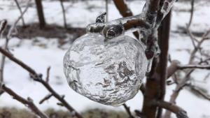 Imatge d'una de les 'pomes fantasma'