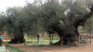 Imatge d'unes oliveres mil·lenàries a Ulldecona.