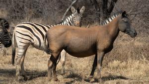 La diferencia de color entre una cebra y un caballo es efectivo para protegerse de los insectos