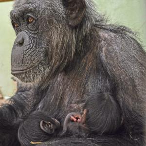La ximpanzé Malin amb les seves dues cries bessones