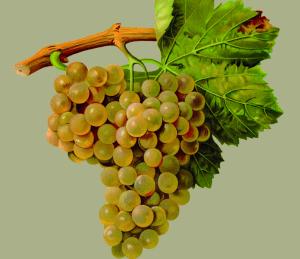 Raïms. Les principals varietats catalanes: història, cultiu i vins