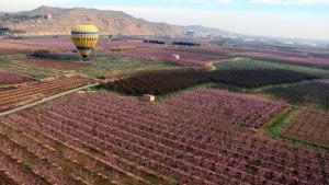Vista aèria de camps de presseguers i nectariners florits al municipi d'Aitona, amb un globus aterrant al fons.