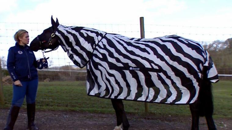 Els investigadors han disfressat de zebra diversos cavalls