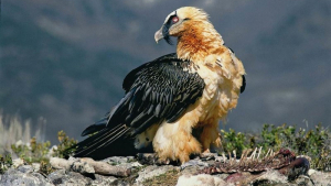 El trencalòs és una espècie de voltor típica del Pirineu