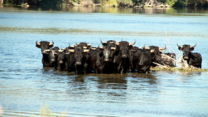 Els ecologistes volen els bous fora de l'Illa de Vinallop (Tortosa)