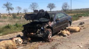 Ovelles morts implicades en l'accident de Castelldans.