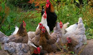 Las gallinas defendieron su corral contra el zorro que iba a comérselas, hasta matar el depredador