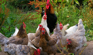 Les gallines d'aquesta granja tenen un caràcter molt violent quan es troben amenaçades