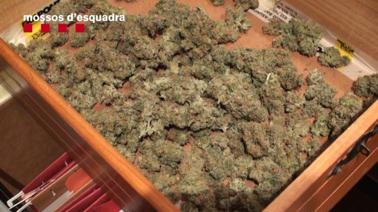 Foto de marihuana decomissada als escorcolls
