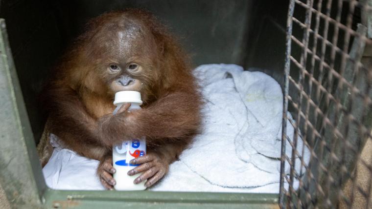Imatge de l'orangutan recuperant-se al zoològic de Bali