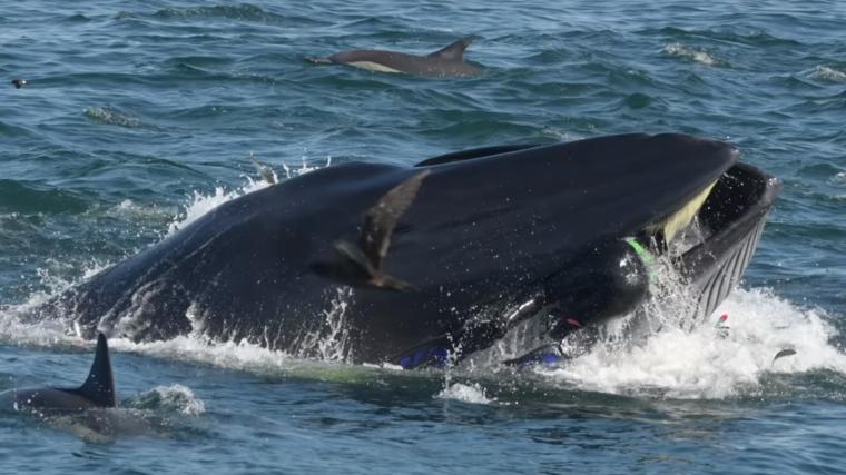 Imatge del moment en què la balena s'empassa el submarinista