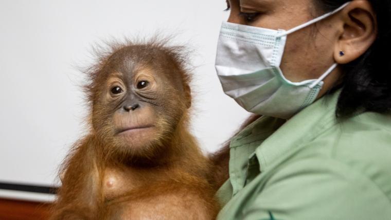 L'orangutan està rebent el millor tracte per recuperar-lo aviat