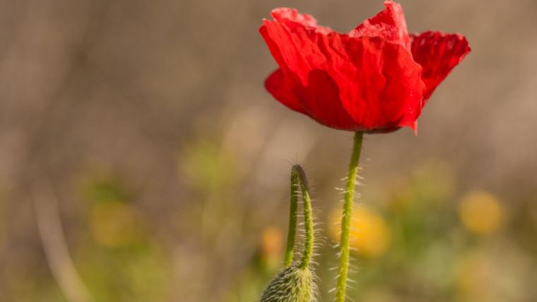 Segueix la primavera avançada a les comarques tarragonines i les roselles floreixen