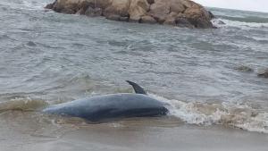 El dofí que ha aparegut mort a la platja de Cunit.