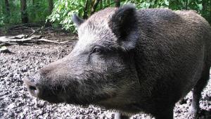 El porc senglar és una de les presses habituals dels caçadors