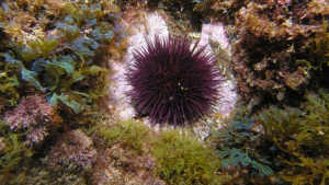 Els eriçons de mar devoren els coralls i les algues submarines que troben aprop si no tenen depredadors