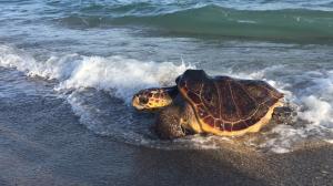 Exemplar de tortuga marina recuperada i retornada al seu medi natural