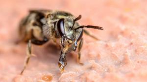 Foto de una abeja del sudor