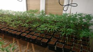 La Guàrdia Civil també ha descobert una important plantació de marihuana al Maresme
