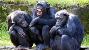 La nova espècie de ximpanzé va ser fruit de l'encreuament amb els bonobos
