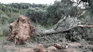 La Unió de Pagesos denuncia hi ha una trentena d'afectats per desperfectes en plantacions d'oliveres i marges d'un camí