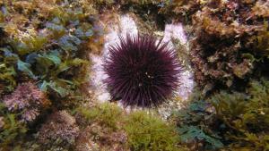 Los erizos de mar devoran los corales y las algas submarinas que encuentran si no tienen depredadores