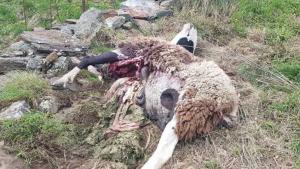 Pla de detall de l'animal mort arran de l'atac de l'os Goiat a Baish Aran