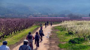 Pla general de turistes fent una ruta en bicicleta entre arbre fruiters florits a la Ribera d'Ebre