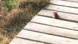 Una rata a la zona de dunes de Calafell.