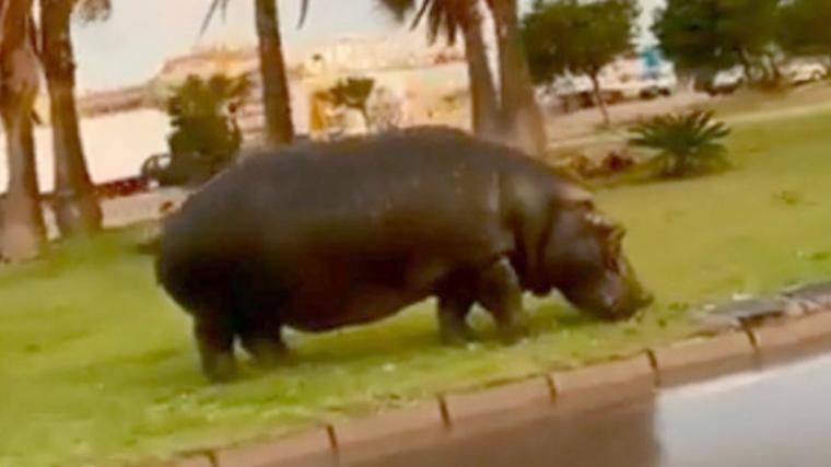 Imatge de l'hipopòtam escapat a Roquetes de Mar