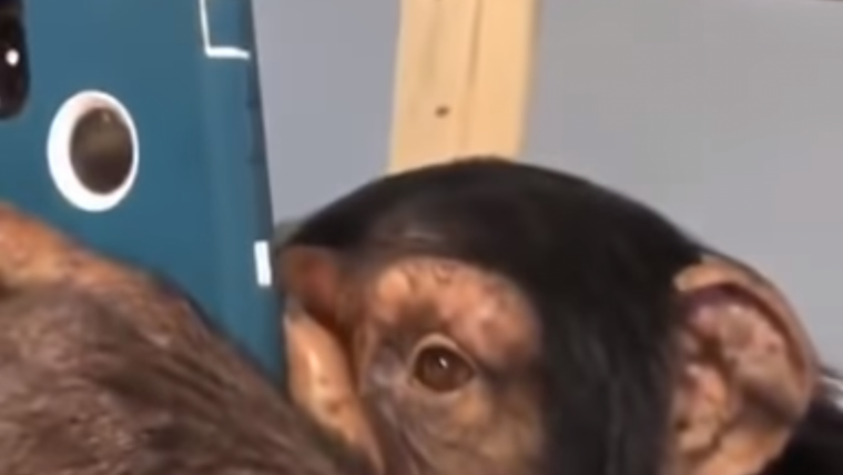 Imatge del vídeo en què el ximpanzé utilitza Instagram