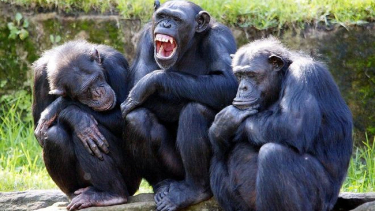 La nueva especie de chimpancé desapareció cuando se cruzaron con los bonobos