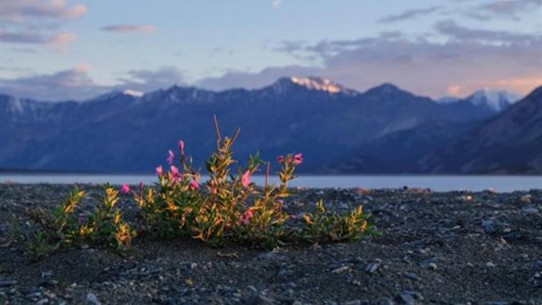 La primavera inicia 20 días antes el ciclo vital de las plantas del Ártico
