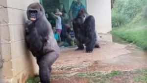 Divertida reacción de un grupo de gorilas ante la lluvia, que pudieron evitar graciosamente mojarse