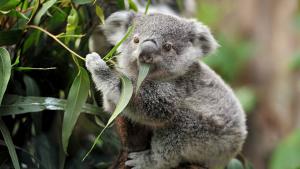 Els coales són una espècie icònica d'Austràlia