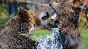 Els veïns d'un tranquil barri residencial a Nova Jersey van presenciar una espectacular lluita entre dos grans óssos