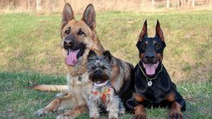 Gossos: doberman, yorkshire terrier, pastor alemany