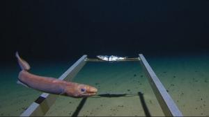 Imatge d'animals marins inexplorats fins ara i trobats en la immersió