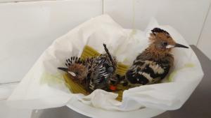 Imatge de dos polls de puput atesos al Centre de fauna de Vallcalent de Lleida