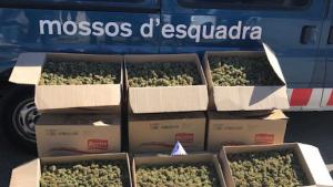 Imatge de la quantitat de cabdells de marihuana requisada a Vinyols i els Arcs