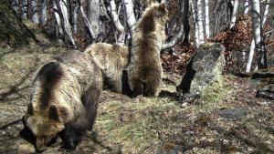 Imatge de la vida dels óssos al Pirineu català