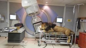 Imatge del lleó en una sala d'oncologia de Sud-àfrica