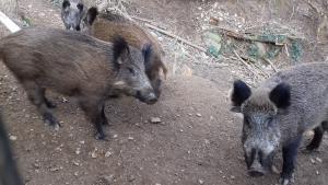 Imatge d'un grup de porcs senglars