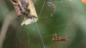Imatge d'una vespa a punt d'atacar una aranya