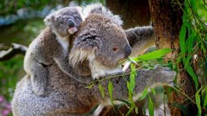 La especie está muy amenazada en Australia por la presión humana