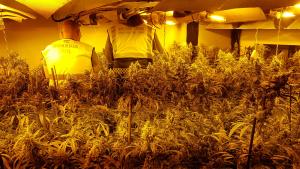 La Guàrdia Civil desmantella una gran plantació de marihuana en un habitatge de Miami Platja