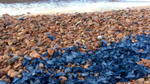Les meduses velella i pelàgies han arribat aquesta setmana a la costa central catalana i a Barcelona
