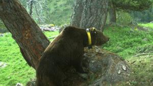 L'ós Goiat ha tornat a atacar a la Vall d'Aran